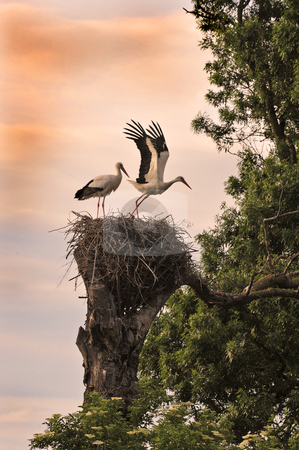 Eden stock photo, Beginning of life for two white stork on their nest by Bonzami Emmanuelle