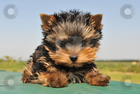 Puppy yorkshire terrier stock photo, Portrait of a purebred puppy yorkshire terrier by Bonzami Emmanuelle