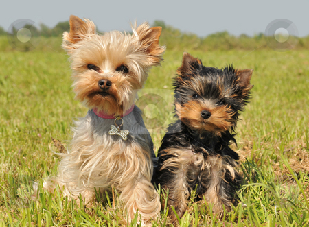 Yorkshire terrier and puppy stock photo, Portrait of a female yorkshire terrier and her cute puppy by Bonzami Emmanuelle