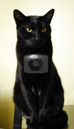 Black Cat stock photo, Close up head shot of green-eyed black cat. by Tudor Antonel adrian