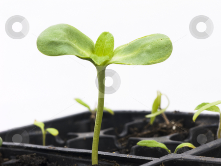 Sunflower Seedling stock photo, Sunflower Seedling on a white background by John Teeter