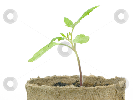 Tomato plant starter stock photo, Tomato plant starter on a white background by John Teeter