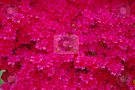 Red azalea stock photo, Close up a blooming red azalea bush, makes a strikin background by Sandra Fann