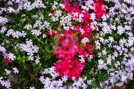Red and Purple stock photo, Purple phlox and red azaleas make a striking background by Sandra Fann