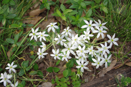 Star of Bethlehem stock photo, Close up of cluster of white Star of Bethlehem flowers by Sandra Fann