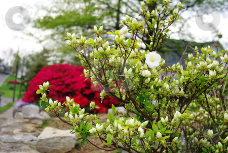 White Azalea Bush stock photo, White Azalea bush in foreground,  red azalea bush in background by Sandra Fann