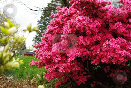 Red azalea stock photo, Bright red azalea bush by Sandra Fann