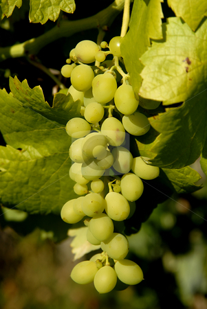 Grapes stock photo, Bunch of green grapes in the vineyard by Rui Vale de Sousa