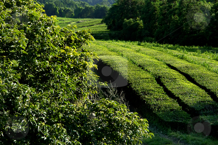 Tea stock photo, Azores in a tea field at s. miguel island by Rui Vale de Sousa