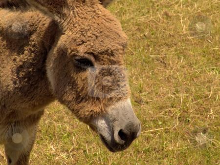 Donkey stock photo, Donkey head detail in the field grass by Rui Vale de Sousa