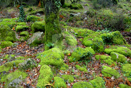 Moss stock photo, Green forest moss in the portuguese national park by Rui Vale de Sousa