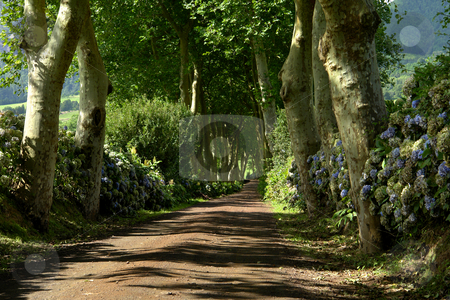 Path stock photo, Path with trees on two side in azores by Rui Vale de Sousa