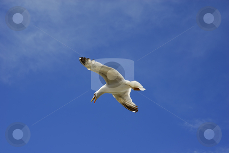 Fly stock photo, Young flying seagull and the blue sky by Rui Vale de Sousa