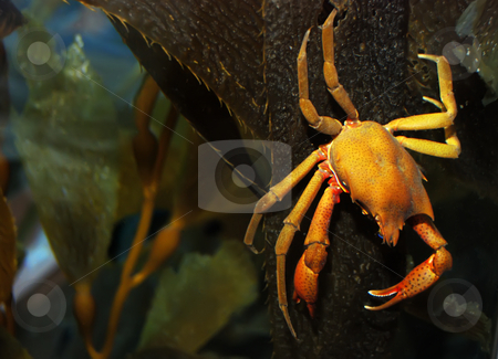 Crab stock photo, Brown and yellow crab on kelp under water. by Denis Radovanovic