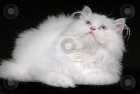 White stock photo, Young white kitten isolated on black background by Rui Vale de Sousa
