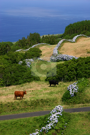 Cows stock photo, Farm cows on the coast by Rui Vale de Sousa