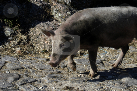 Pig stock photo, A pig in the street, north of portugal by Rui Vale de Sousa