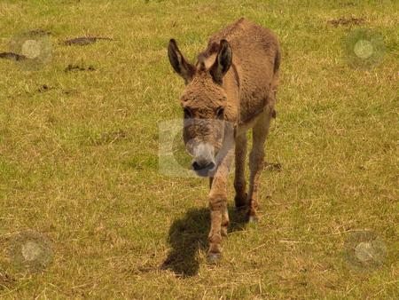 Donkey stock photo, Farm donkey by Rui Vale de Sousa