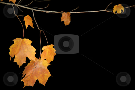 Leaves stock photo, Some orange autumn leaves in dark background by Rui Vale de Sousa