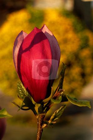 Tulip stock photo, Tulip detail by Rui Vale de Sousa