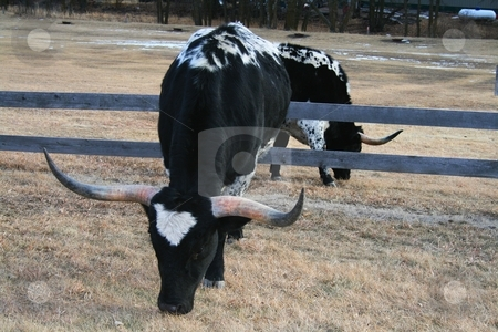 Two Steers No Mirrors stock photo, Two identical long horn steers standing back to back, one on each side of a wooden fence. Their mirrored stance and positions give an unusual effect of one steer in front of a very large mirror. by Gregory Johnson