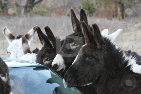 More Bread stock photo, These wild donkeys surrounded our car in Custer State Park. We ran out of bread that they ate from our hands. We had to roll up the windows and drive off slowly, since they were not about to accept our failure to bring more bread. by Gregory Johnson