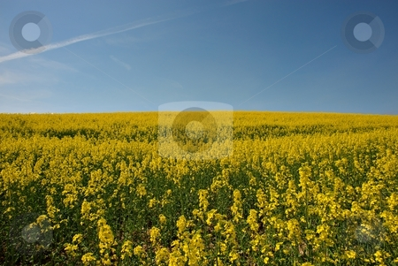 Summer is comming stock photo, Yellow fields with blue sky in sunny day by Juraj Kovacik