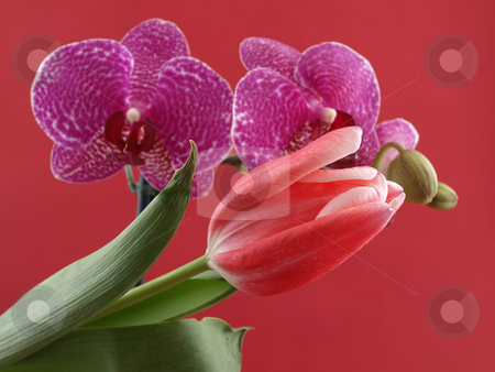 Tulip and Orchid stock photo, A beautiful pink tulip in front of purple orchid blooms contrasting over a red background. by Robert Gebbie