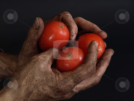 Mater Season stock photo, Rugged and dirty hands hold beautiful bright red tomatoes against a black background. by Robert Gebbie