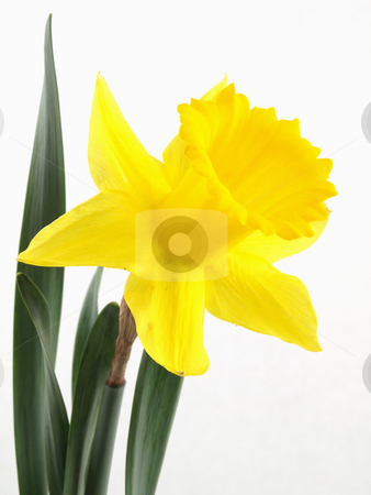 Narcissus Daffodil stock photo, A vibrant yellow narcissus daffodil isolated against a white background. by Robert Gebbie