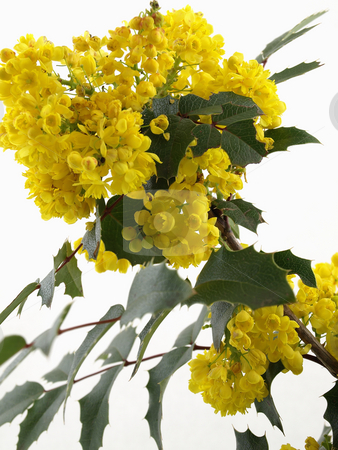 Mahonia Blossom stock photo, Yellow Mahonia Blossom isolated on a white background by Robert Gebbie