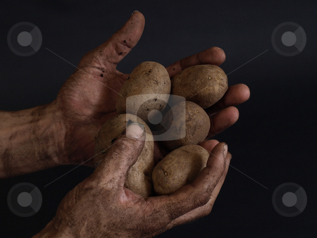 Fruit of the Earth stock photo, Hard working male hands, dirty from a day's work, holding potatoes against a black background. by Robert Gebbie