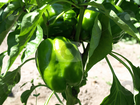 Young Pepper on Vine stock photo, Beautiful green bell peppers growing on a vine in a garden by Robert Gebbie
