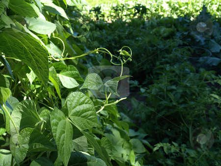 Snap Bean Vine stock photo, A wandering snap bean vine in a sea of green garden foliage. by Robert Gebbie