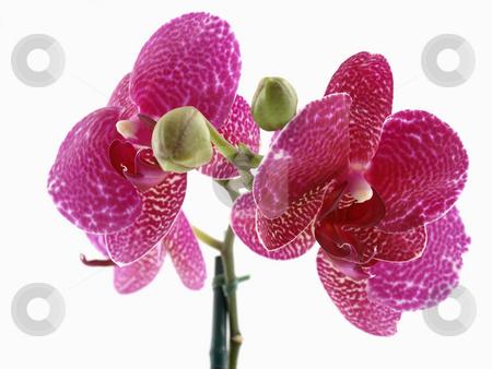Phalaenopsis Orchid Bloom stock photo, A beautiful blooming phalaenopsis orchid over a white background. by Robert Gebbie