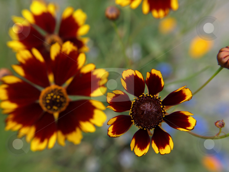 Plains Coreopsis stock photo, Colorful Plains Coreopsis flowers, limited focal area, soft focus background image. Great title page with room for text. by Robert Gebbie