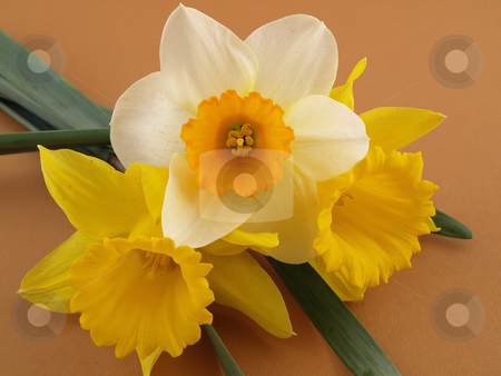 Daffodils on Brown Background stock photo, Beautiful yellow and white narcissus daffodils arranged over a brown background. by Robert Gebbie