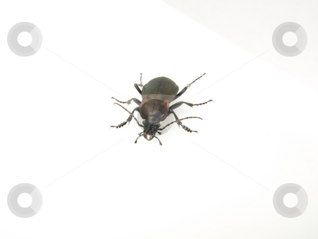 Violet Beetle on White stock photo, A Violet Ground Beetle (Carabus Violaceus) studio isolated on a white background. by Robert Gebbie