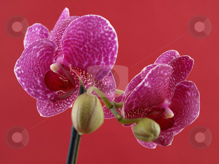 Phalaenopsis Orchid stock photo, A beautiful purple orchid bloom contrasting over a red background. by Robert Gebbie