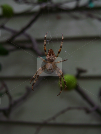 Orb-Weaver Spider stock photo, A large orb-weave spider suspended in the middle of a web by Robert Gebbie