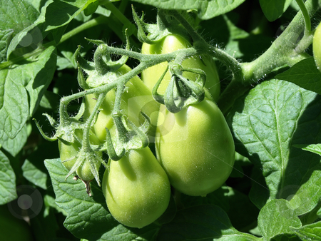 Green Tomatoes stock photo, A group of green tomatoes growing in a bunch on a vine in a garden by Robert Gebbie
