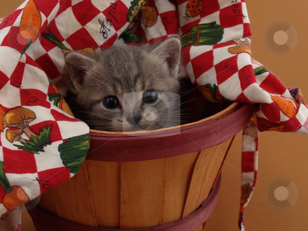 Grey Kitten in Basket stock photo, A small grey and white kitten looks upward while sitting in a basket. by Robert Gebbie
