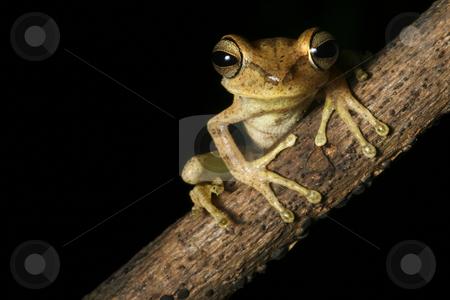 Bolivian tree frog stock photo,  by Dirk Ercken