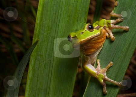 Hyla arborea stock photo, European tree frog sitting on a leaf next to the pond and ready to jump by Dirk Ercken