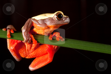 Hyla triangularium stock photo, Hyla triangularium sitting at night on a branch in the Bolivian rain forest by Dirk Ercken