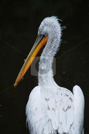 Pelican stock photo,  by Sarka