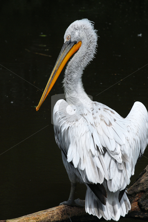 Pelican stock photo,  by Sarka