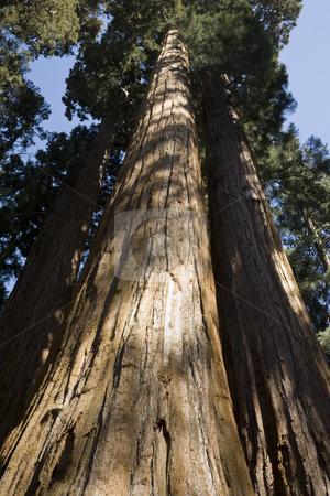 Giant Sequoias stock photo, Giant Sequoias, Sequoiadendron giganteum, Sequoia National Park, California, USA by mdphot