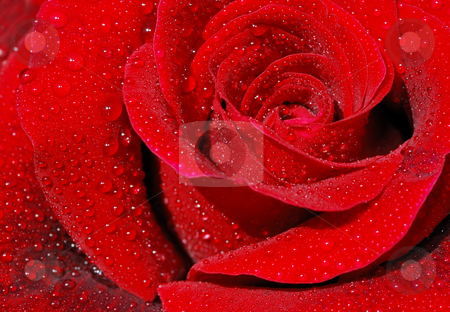 Red rose stock photo, Close-up of a red rose with droplets. by Ivan Paunovic