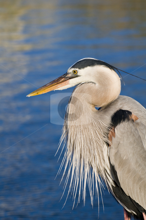 George The Heron stock photo, A heron by the water on the Alabama gulf coast. by Darryl Vest